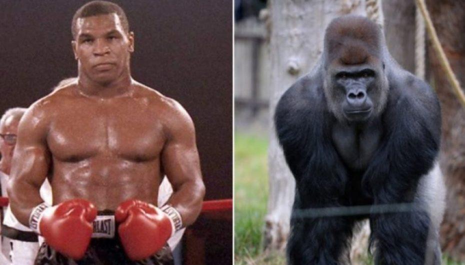 Si deshi Tyson ta rrahë një gorillë për 10.000 dollarë